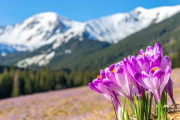 Obraz Crocus flowers. Tatra mountains. Mountain landscape - fototapety do salonu