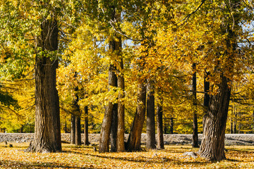 Poplar grove. Forest of trees with yellow leaves in autumn.