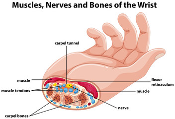 Diagram showing human hand with muscles and nerves