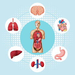 Diagram showing different organs of human