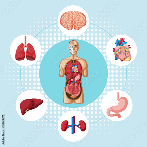 Diagram Showing Different Organs Of Human Stock Image And Royalty