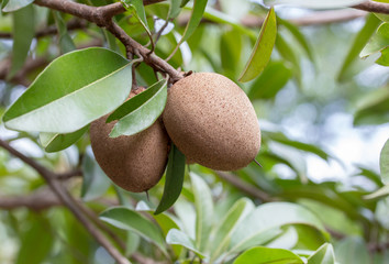 Sapodilla fruit on the tree in the garden