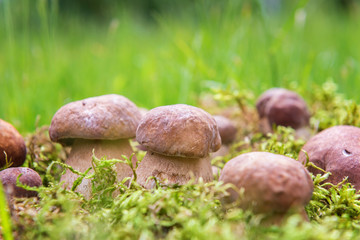 Boletus or porcini fungi mushrooms in moss, nature seasonal background
