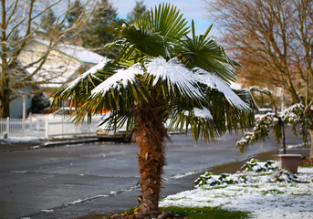 Leavs of Palm Trees Covered with Snow at Early Spring Time Unusual Weather at Portland Oregon USA