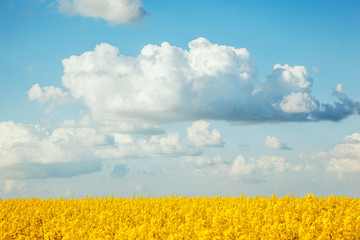 Wall Mural - Magnificent views of the endless canola field on a sunny day. Beauty world.