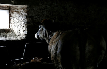 An Aubrac breed bull is pictured in a barn in Curieres