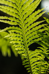 Detal and macro of fern leaves, green blurred background