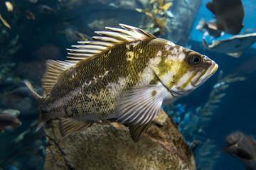 Quillback rockfish (Sebastes maliger), Inhabit rocky bottoms and reefs