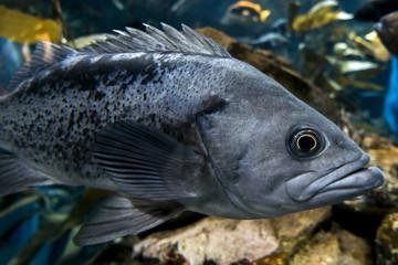 Largemouth bass Micropterus salmoides ,close up detail
