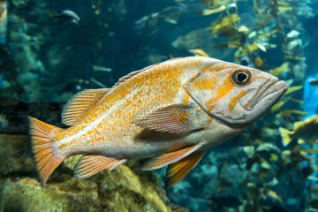 Quillback rockfish (Sebastes maliger), Inhabit rocky bottoms and reefs