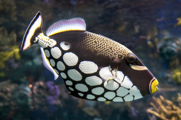 Tropical fish Clown triggerfish, Balistoides conspicillum - sea and ocean fish