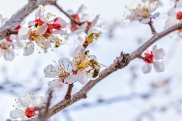 Bee on a flower of apricot tree, macro
