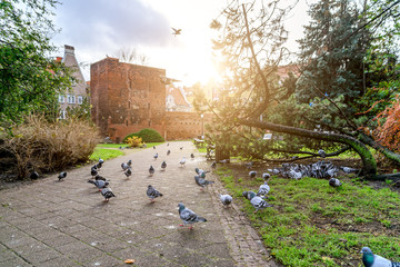 Pigeons in the park of Gdansk Poland