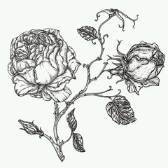 Rose flower engraving vector illustration