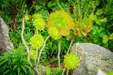 Echeveria Lots of Succulent Plants in garden.