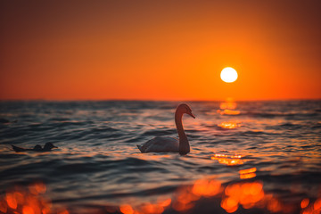 White swan in the sea, sunrise shot