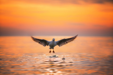 Seagull landing in the sea at sunrise