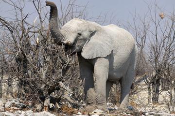 afrykański słoń w naturalnym środowisku z trąbą podniesioną do góry stojący wśród nagich konarów drzew