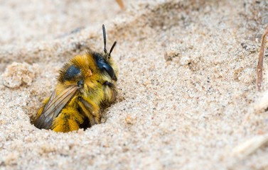 Raufüßige / Braunbrüstige / Dunkelfransige Hosenbiene / Rauhfüßige Bürstenbiene (Dasypoda hirtipes / plumipes / altercator),  Weibchen, guckt aus Niströhre, Mecklenburg-Vorpommern, Deutschland