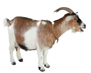 Goat standing isolated
