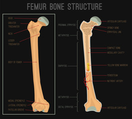 Femur Bone Structure