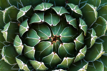 Beautiful close-up of a flowering Green Victoria Agave Cactus.