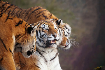 Close up of three Amur tigers, playing by rubbing their heads together, showing affection. One with an open mouth showing teeth. With beautiful stripes and space for text.