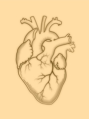 Heart. The internal human organ, Anatomical structure. Engraved print, outline detailed drawing.
