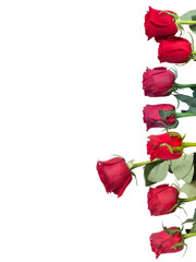 Red and pink roses on white background. Isolated.