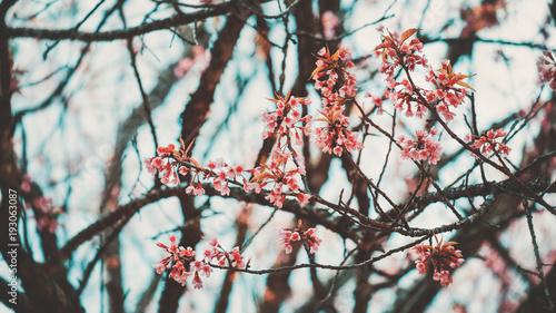 Wall mural Beautiful sakura flower (cherry blossom) in spring. sakura tree flower. vintage color tone