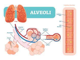 Lungs alveoli schematic, anatomical vector illustration diagram with capillary network.