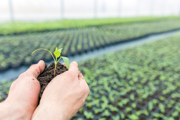 Hands holding Seedling with ground in a greenhouse.