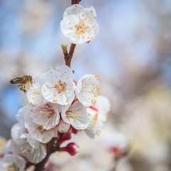 Background of apricot -tree flowers