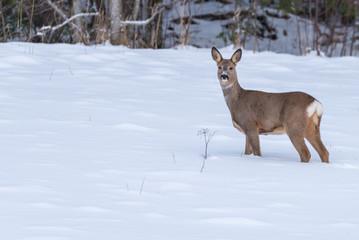 roe deer walking in snow in Sweden