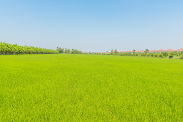 Beautiful rice green in the field a vast area