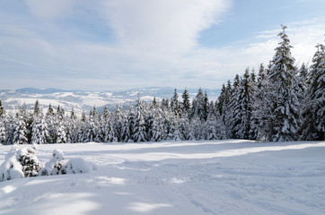 A young fir forest in the mountains covered with snow