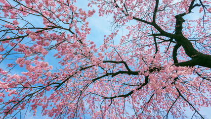Wall Mural - Cherry Blossom with Soft focus, Sakura season in spring.