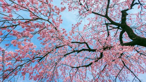 Wall mural Cherry Blossom with Soft focus, Sakura season in spring.