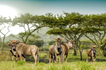 Gnu herd Drakensberg Mountains