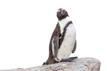 isolated penguin on rock