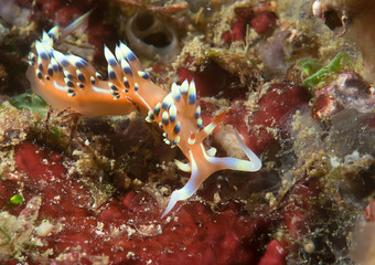 Much desired or desirable flabellina  exoptata rests on coral of Bali