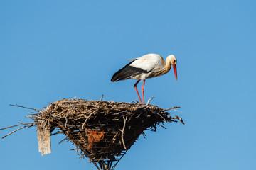 Cigüeña blanca o común en el nido. Ciconia ciconia.