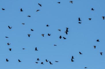 Grajas en vuelo. Corvus frugilegus.