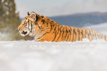 Tiger portrait in cold winter. Tiger in wild winter nature. Action wildlife scene, danger animal.