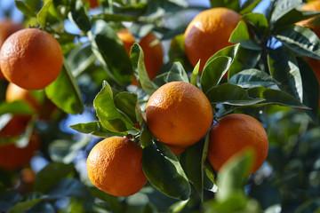 mandarin tree with ripe mandarines
