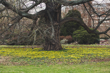 Huge tree in the middle of a yellow flower field.