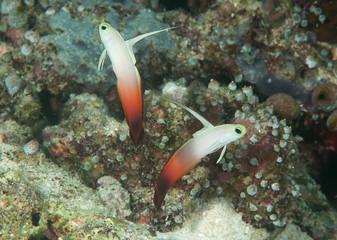 Two Fire dartfish ( Nemateleotris magnifica ) synchronized swimming above corals of Bali