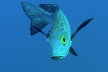 Midnight snapper ( Macolor macularis )  face to face. Bunaken island, Indonesia