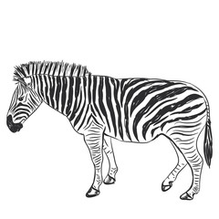 Black and White Zebra portrait sketch isolated on white background. Vector