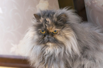 Persian cat close up